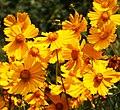 Coreopsis (tickseed) Flowers - 50970758416.jpg