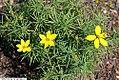 Coreopsis verticillata Zagreb 14zz.jpg
