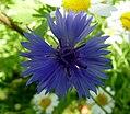 Cornflower. Centaurea cyanus (32623488801).jpg