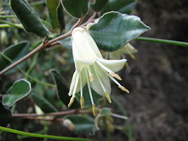 Correa backhouseana.JPG