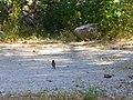 Corsica - Vizzavona - camping - a sparrow - panoramio.jpg