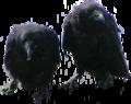 Corvus corax jouveniles.png
