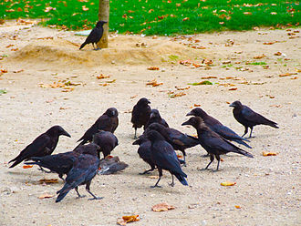 Carrion crow - Scavenging around a dead bird in Paris, France
