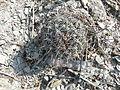 Coryphantha cornifera (5780612608).jpg