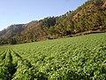 Cosecha en Constanza - panoramio.jpg