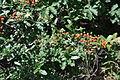 Cotoneaster integrrimus Cotoneaster ჩიტაკომშა.JPG