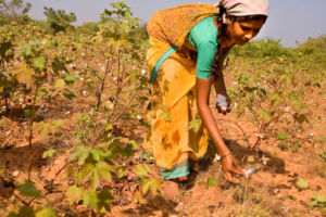 A woman picking cotton in a field near Nagarju...