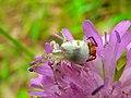 Couple of Crab Spiders (Thomisus onustus) (8341245507).jpg