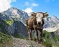 Cow in Oeschinensee.jpg