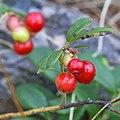 Cowberry (Vaccinium vitis-idaea) - Oslo, Norway (01).jpg