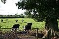 Cows on a Public Footpath - geograph.org.uk - 255271.jpg