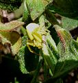 Crab Spider ...waiting to pounce^ (Thomisus onustus), female - Flickr - gailhampshire.jpg