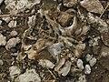 Craneo fosilizado, especie bobina extinta hace 10 mil años, ÑU sud americano, Ramblon, Viale - panoramio.jpg