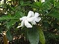 Crape Jasmine 1.jpg