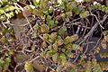 Crassula rupestris subsp. marnieriana in Jardin des Plantes de Toulouse.jpg