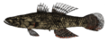 Crazy fish, Butis butis (Hamilton, 1822) by M. L. Nievera (colored).png