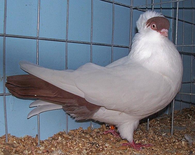 File:Crested helmet pigeon.jpg