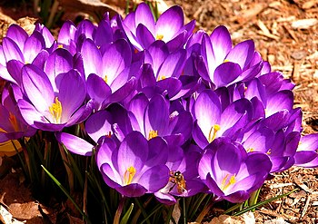 English: Crocuses and a bee