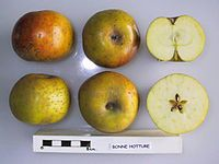 Cross section of Bonne Hotture, National Fruit Collection (acc. 1948-212).jpg