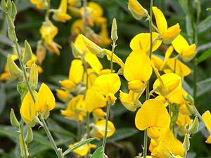 Crotalaria juncea - Image: Crotalaria juncea Da 220020