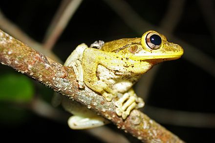 The Cuban tree frog can be found on the island. Cuban Tree Frog (Osteopilus septentrionalis).jpg