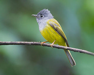 Grey-headed canary-flycatcher species of bird