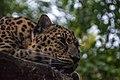 Curious Amur Leopard.jpg