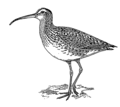 Curlew (PSF).png