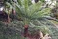 Cycas circinalis 42zz.jpg