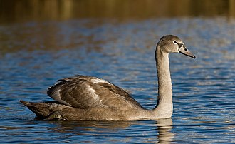 Mute swan - Mute swan cygnet in Vanhankaupunginlahti, Finland