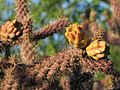 Cylindropuntia spinosior Fruits - treegrow.jpg