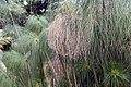 Cyperus papyrus 29zz.jpg