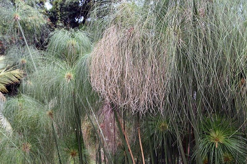 File:Cyperus papyrus 29zz.jpg