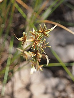 <i>Cyperus vaginatus</i> Species of plant