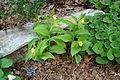Cypripedium calceolus - Jenkins Arboretum - DSC00617.JPG