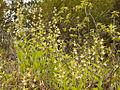 Cypripedium californicum - Flickr 001.jpg
