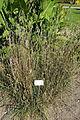 Dactylis glomerata subsp. aschersoniana (Dactylis aschersoniana) - Bergianska trädgården - Stockholm, Sweden - DSC00554.JPG