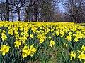 Daffodils, Barnett Demesne - geograph.org.uk - 1211976.jpg