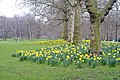 Daffodils in St.James's Park, London - geograph.org.uk - 1764939.jpg
