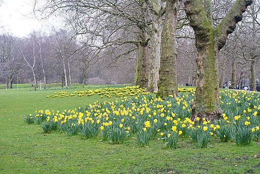 Daffodils in St.James's Park, London - geograph.org.uk - 1764939