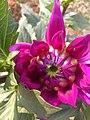 Dahlia Blooming.jpg