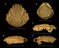 Damithrax cf. pleuracanthus from the late Pliocene–early Pleistocene of the MacAsphalt Shell Pit, Sarasota County, Florida, USA.png