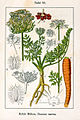 Daucus carota Sturm12033.jpg