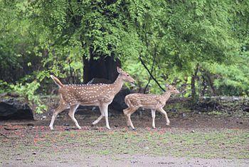 Deer Snap - Anish Joshi -SGNP- Borivali.jpg