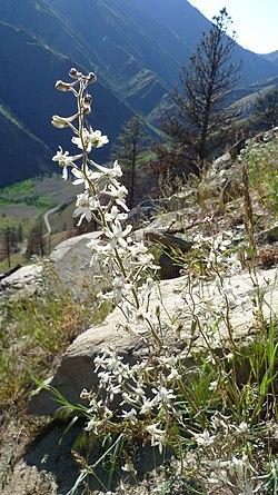 Delphinium xantholeucum 3.jpg