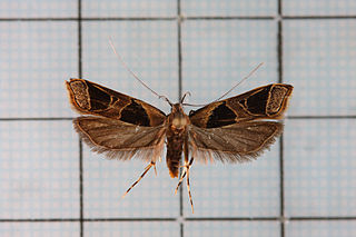 <i>Deltoplastis</i> Genus of moths