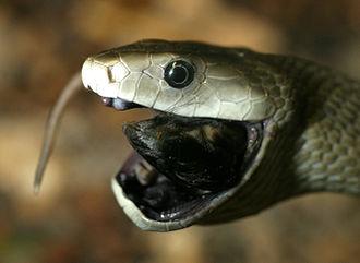 Black mamba - A black mamba swallowing prey