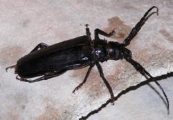 Derobrachus geminatus.png