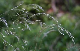 Deschampsia flexuosa 1.jpg