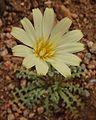 Desert Dandelion (6914522524).jpg